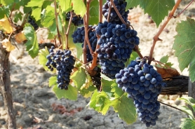 Sangiovese grapes for Brunello